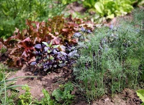 Любите ли вы украсить свое блюдо вкусными, ароматными травами? Если да, тогда вы непременно обрадуетесь возможности выращивания этих растений на своем дачном участке. Давайте рассмотрим, какие растения завоевывают «пальму первенства»