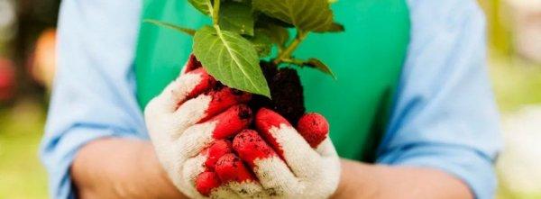 Посадка гортензии осенью или весной в открытый грунт: как и когда правильно сажать, метельчатую, садовую, крупнолистную, саженцем и другими способами