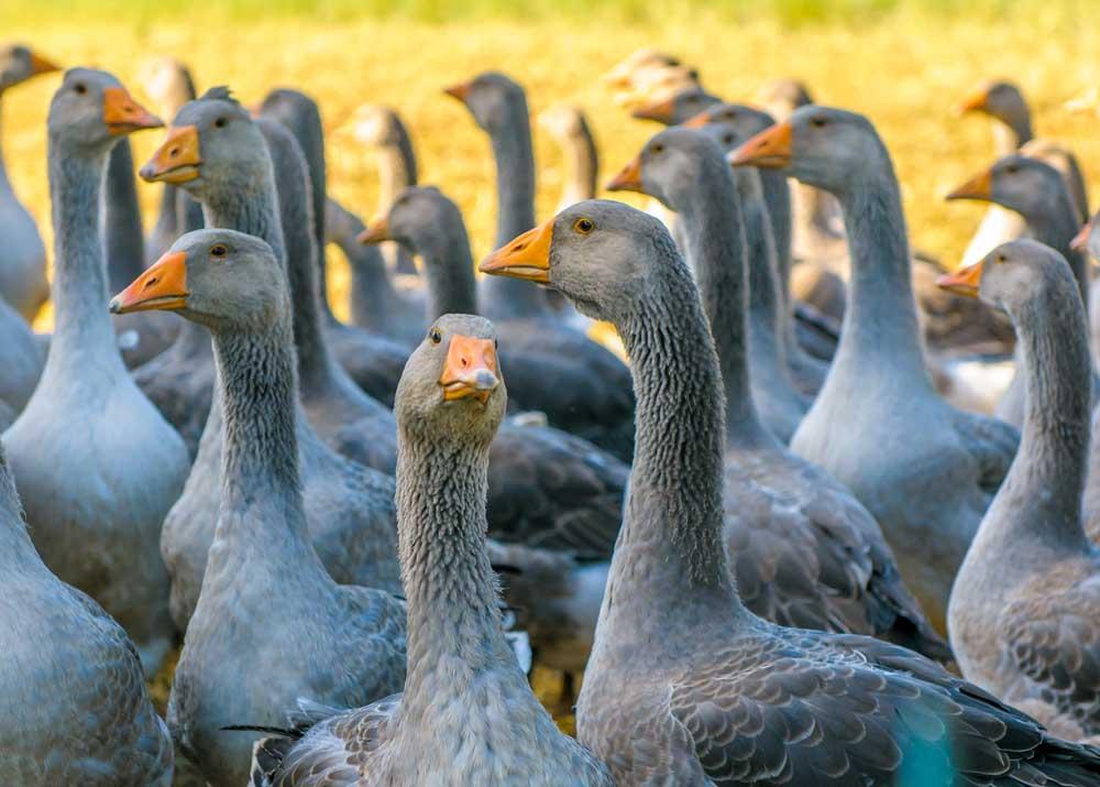 Как оценить доходность бизнеса по разведению гусей
