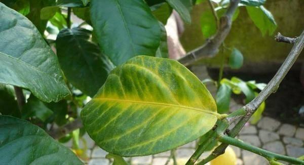 Неправильный полив также может негативно повлиять на лимон
