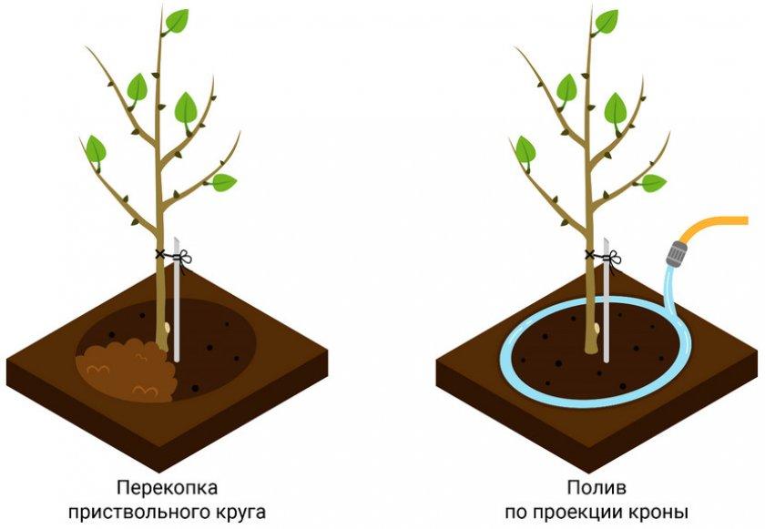 Схема полива плодовых деревьев