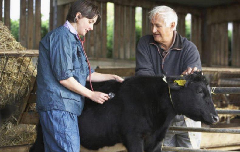 Температура тела коровы в норме