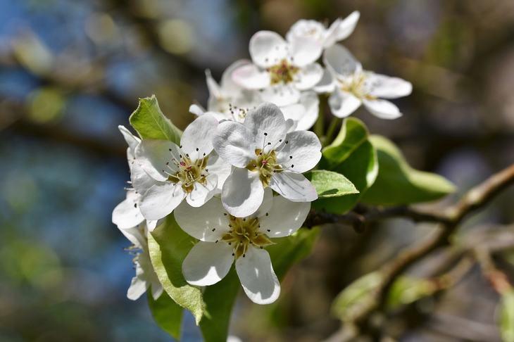 Как вырастить яблоню из семечка своими руками