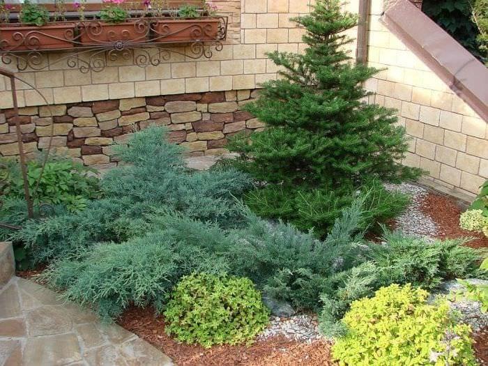 большие стелющиеся хвойные растения в ландшафтном дизайне дачного участка