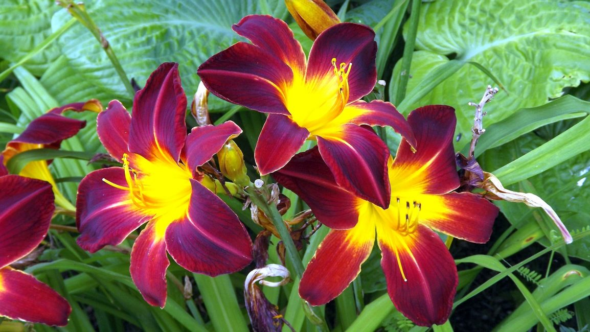 лилии бордово желтые