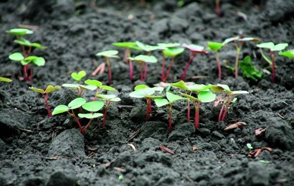 Гречиха-растение-Описание-особенности-виды-сорта-выращивание-и-свойства-гречихи-16