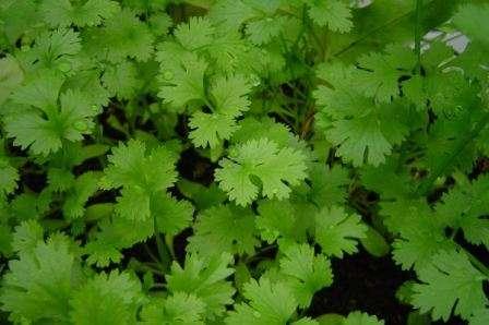 Кинза или кориандр. Выращивается как зелень, семена, как приправа. Эта трава отличается насыщенным ароматом. Раньше ее считали приправой, растущей только в Средней Азии. Чтобы получить зелень необходим
