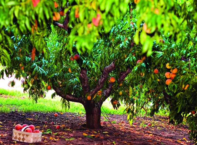 Как правильно формировать персик