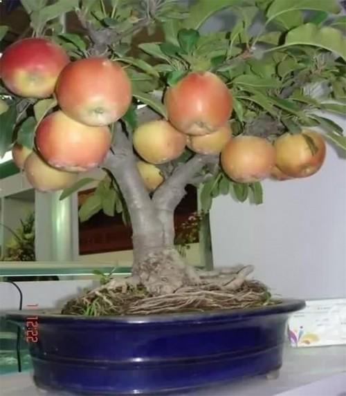 Яблоня дома